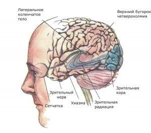 Показаны связи, идущие от первичных рецепторов сетчатки через передаточные ядра таламуса и гипоталамуса к первичной зрительной зоне коры