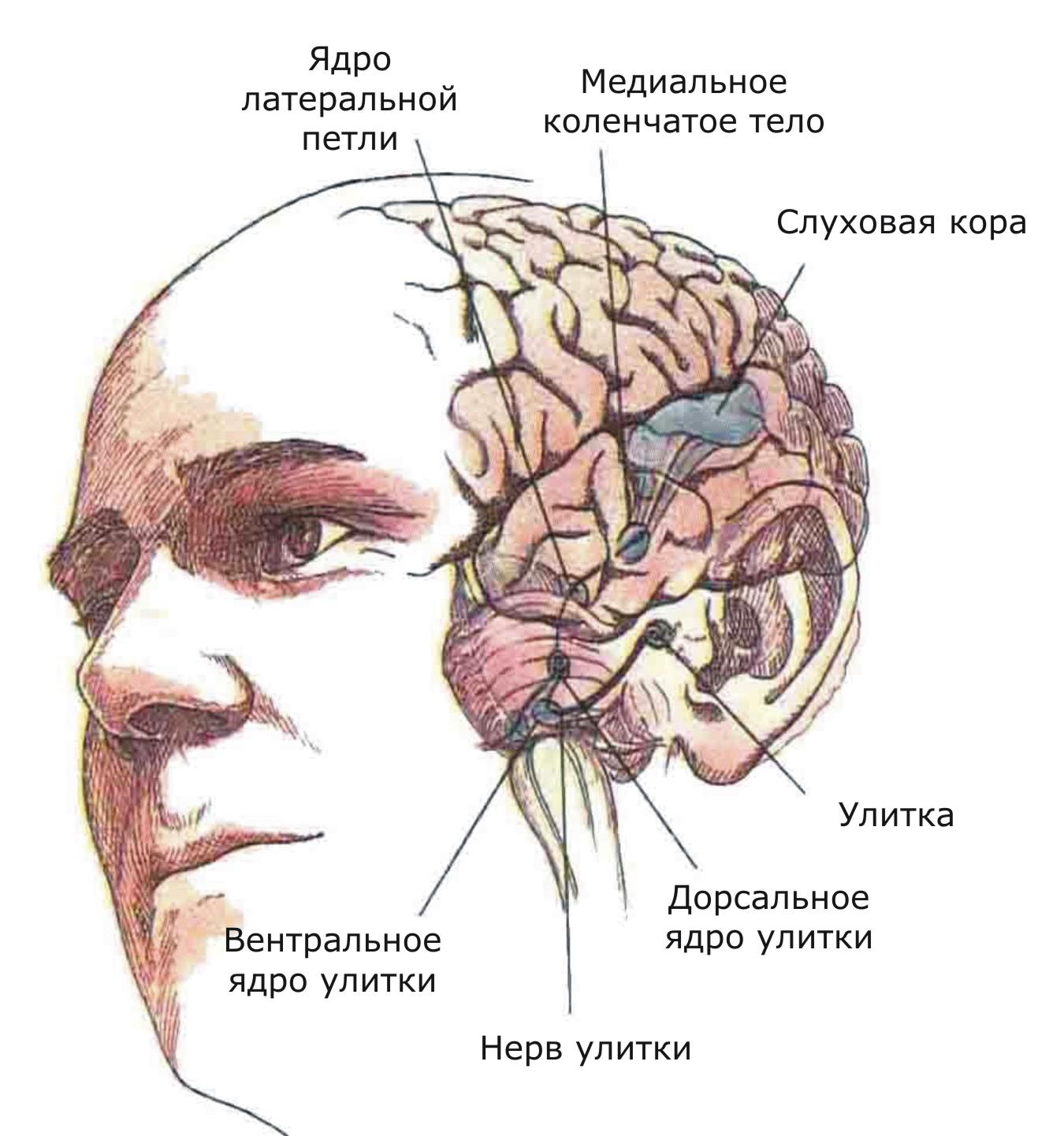 Показаны связи, идущие от первичных рецепторов улитки через таламус к первичной слуховой зоне коры
