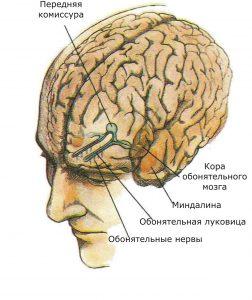Показаны связи, идущие от рецепторов слизистой носа через обонятельные луковицы и базальные ядра переднего мозга к конечным пунктам в обонятельной коре