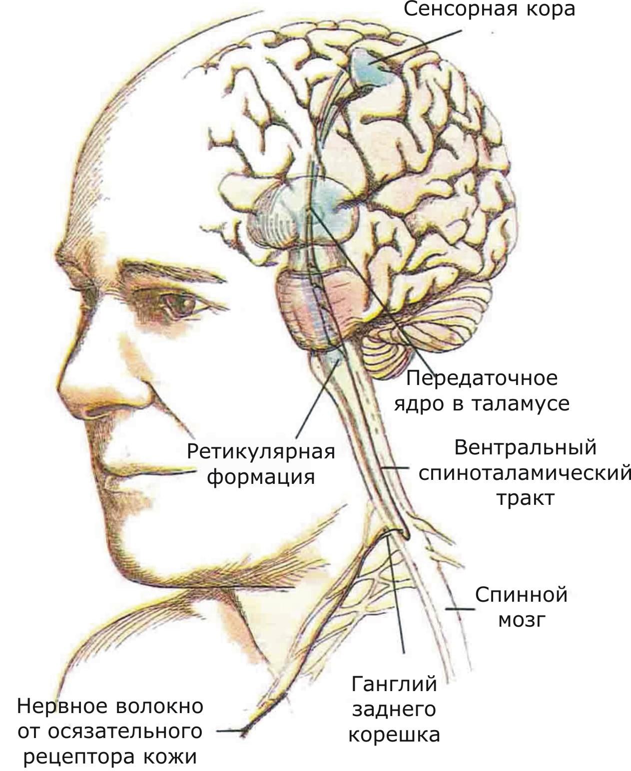 Представлены связи, идущие от кожных рецепторов через вставочные нейроны спинного мозга и таламуса к первичной сенсорной зоне коры