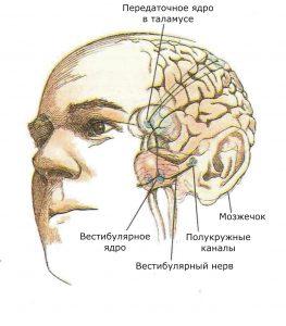 Показаны связи, идущие от первичных рецепторов преддверия внутреннего уха (вестибулярного аппарата) к ядрам ствола мозга и таламуса. Эта информация, по-видимому, не имеет путей для передачи в кору большого мозга