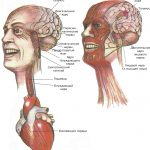 Непроизвольная мускулатура (слева) контролирует движения пищевода, радужной оболочки, сердца и кровеносных сосудов. Произвольная мускулатура (справа) управляет движениями глаз, лицевых мышц, языка и гортани