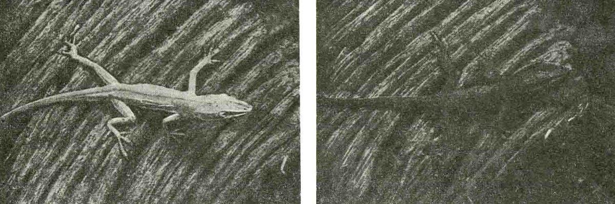 Ящерица Апоlis демонстрирует один из наиболее известных и совершенных примеров приспособления к окружающей среде. Через несколько секунд после падения на скалу она полностью сливается с фоном