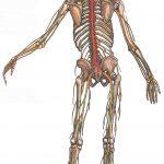 Периферические нервы направляются из этих костных вместилищ к мышцам и коже. Другие важные отделы периферической нервной системы - вегетативная система и диффузная нервная система кишечника- здесь не показаны