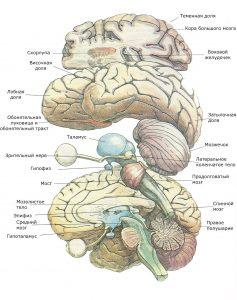 Левое и правое большие полушария, а также целый ряд структур, лежащих в срединной плоскости, разделены пополам. Внутренние части левого полушария изображены так, как если бы их полностью отпрепарировали. Глаз и зрительный нерв, как видно, соединяются с гипоталамусом, от нижней части которого отходит гипофиз. Мост, продолговатый мозг и спинной мозг являются продолжением задней стороны таламуса. Левая сторона мозжечка находится под левым большим полушарием, но не прикрывает обонятельную луковицу. Верхняя половина левого полушария разрезана так, что можно увидеть некоторые базальные ганглии (скорлупу) и часть левого бокового желудочка