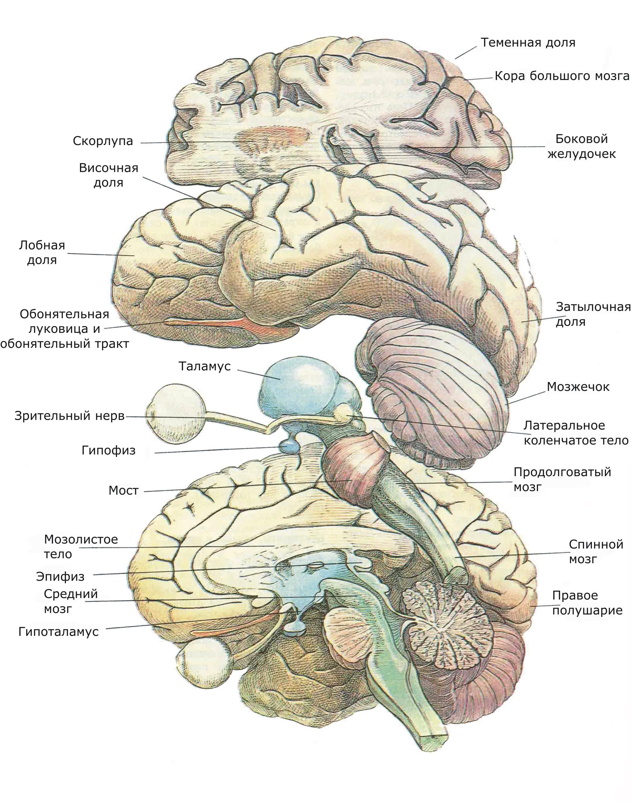 «Географическая» схема организации мозга