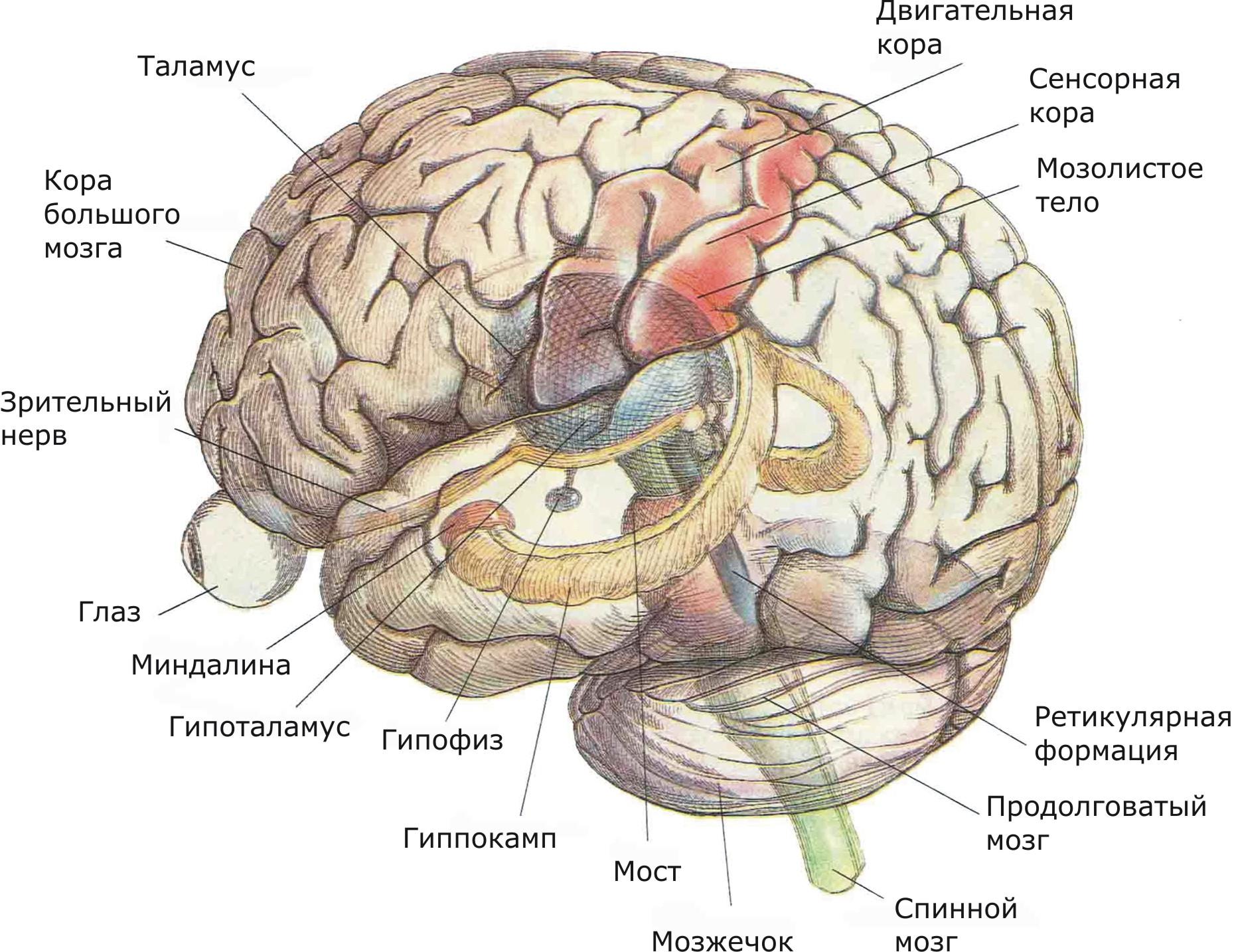 показаны основные структуры, участвующие в сенсорных процессах и внутренней регуляции, а также структуры лимбической системы и ствола мозга