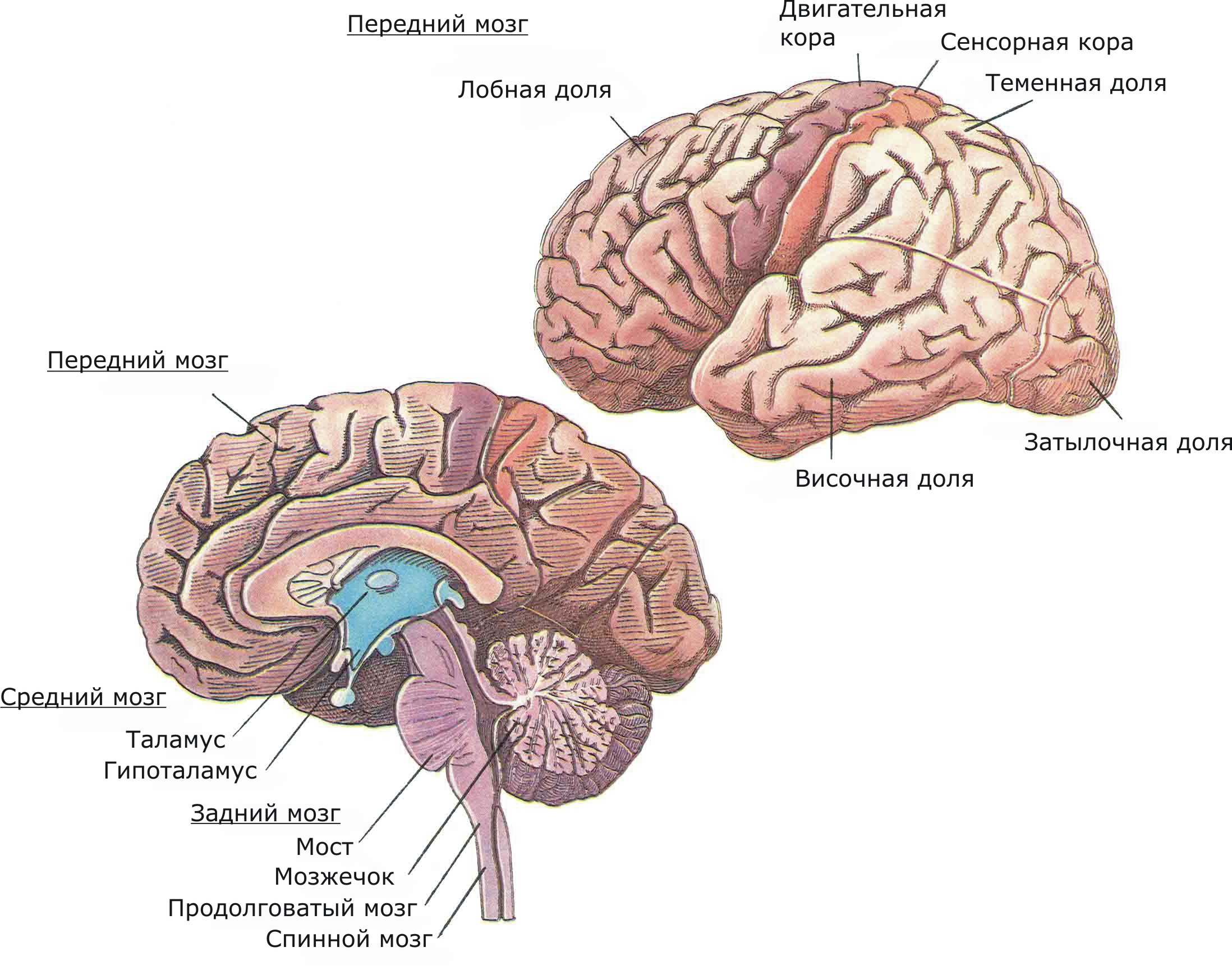 Вверху - доли коры, в том числе области, связанные с телесными ощущениями и контролем произвольной мускулатуры. Внизу - вид срединной поверхности правого полушария