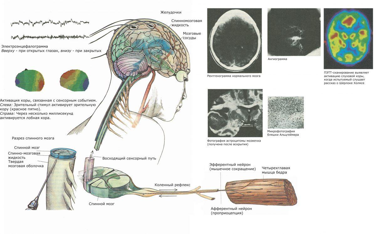регистрируют элек-трическую активность мозга — электроэнцефалограмму (ЭЭГ) или вызванные потен-циалы, что позволяет выявить признаки местного или генерализованного нарушения мозговой активности. Кроме того, опреде¬ляют размеры и форму мозга с помощью обычного рентгеновского исследования или бо¬лее сложных методов