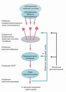 Проба с дексаметазоном позволяет оценить относительную степень контроля мозга над системой гипофиз-надпочечники. Больной принимает внутрь небольшую дозу дексаметазона — мощного синтетического аналога гормона, который в норме синтезируют и выделяют клетки коры надпочечников