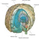 Нейромедиатор дофамин, по-видимому, имеет какое-то отношение к развитию шизофрении. Источниками дофаминовых волокон служат два ядра, образующие дивергентные сети с одним входом, одно в черной субстанции, другое в вентральной покрышке. Дофаминовые волокна, идущие из этих двух ядер, иннервируют экстрапирамидные мишени в базальных ганглиях и мишени лимбической системы в миндалине, перегородке, таламусе и лобной коре.