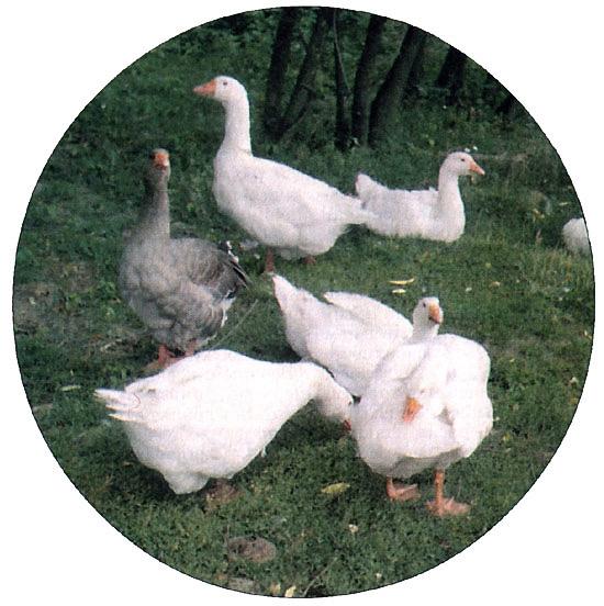 Получение пуха и пера (гусей)