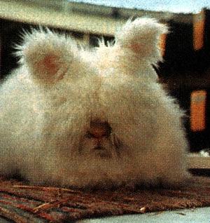 Получение и использование пуха кроликов