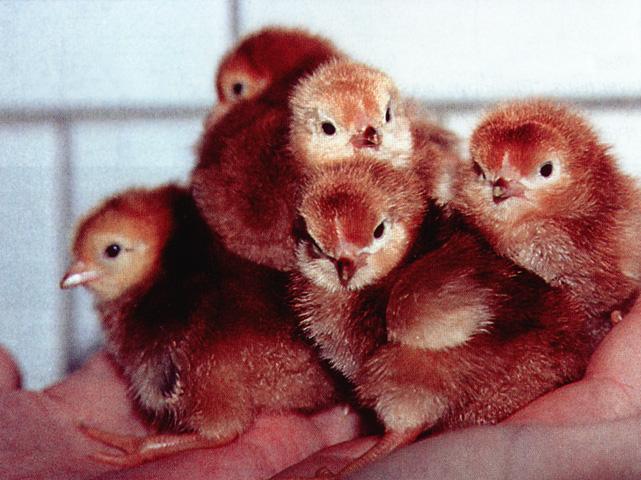 Нужно ли мыть яйца перед инкубацией